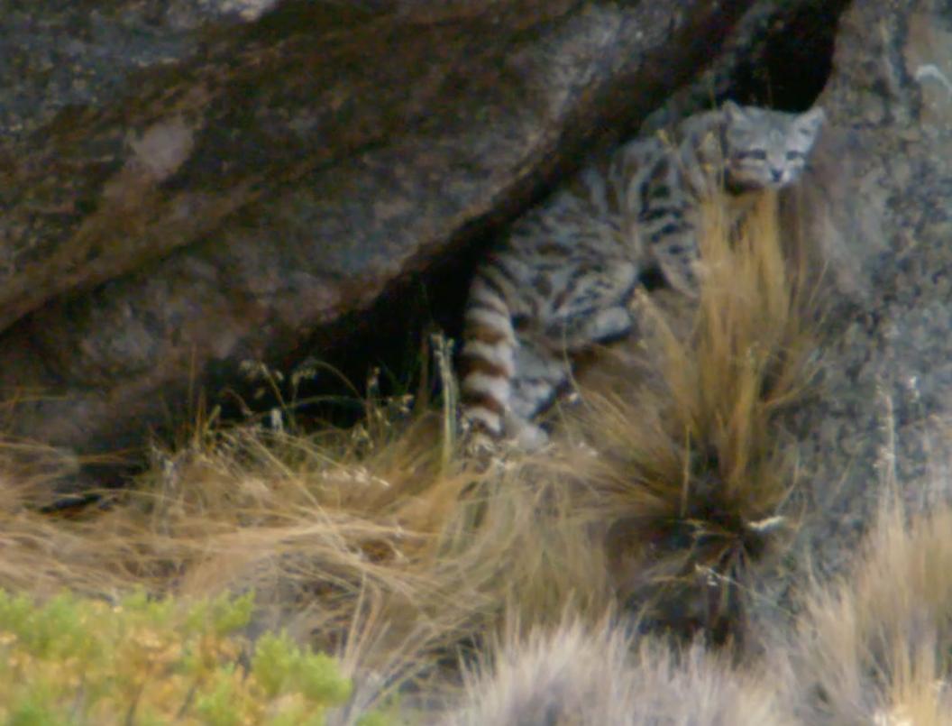 Gato andino: el felino más amenazado de América