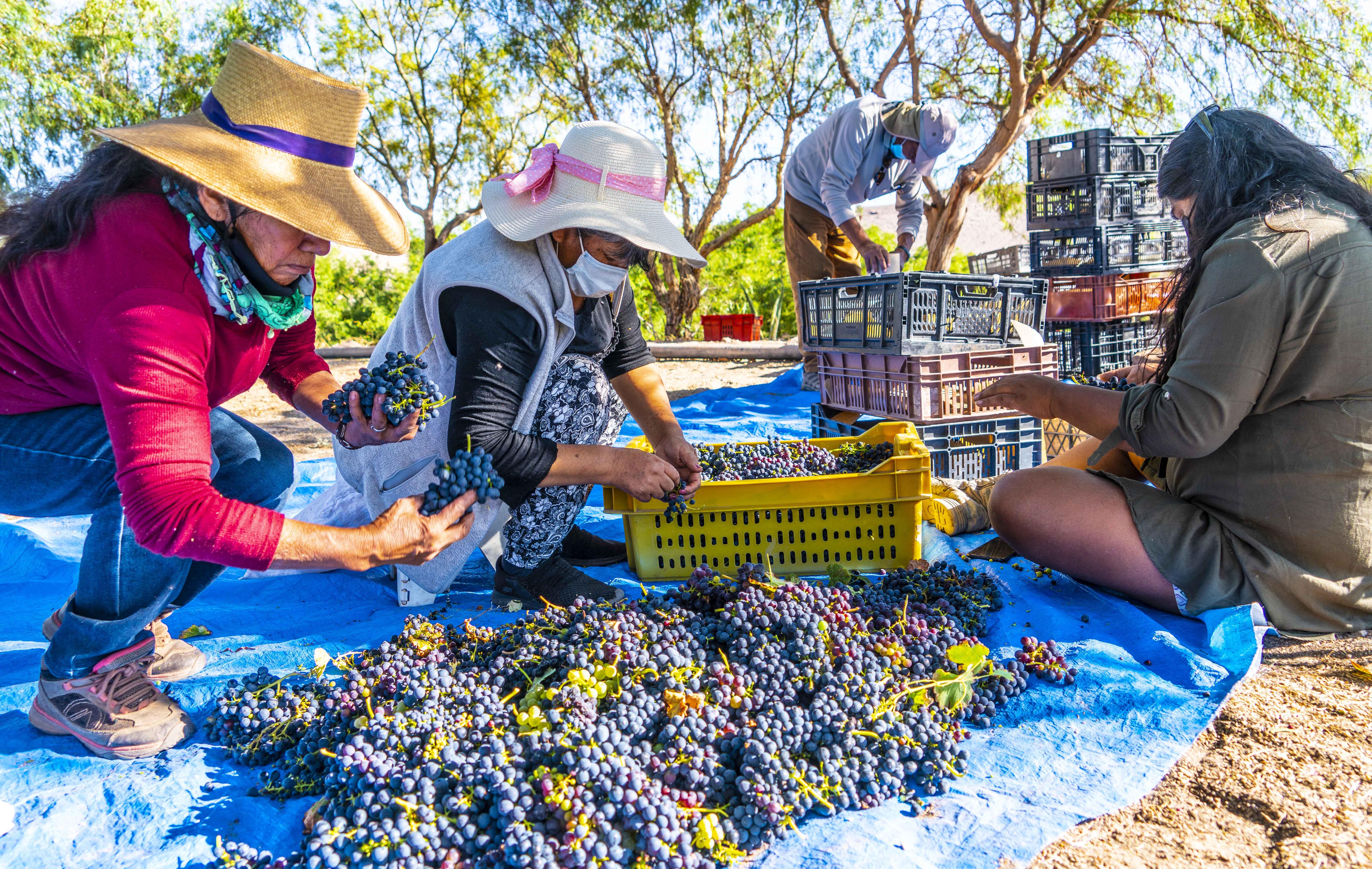 Viñateros de Toconao cierran la vendimia con Festival del Vino