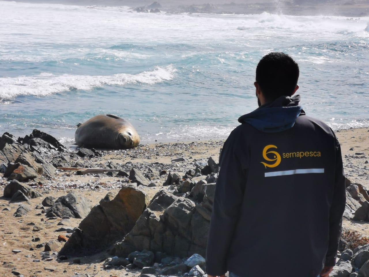Sernapesca llama a no acercarse a elefante marino en Taltal