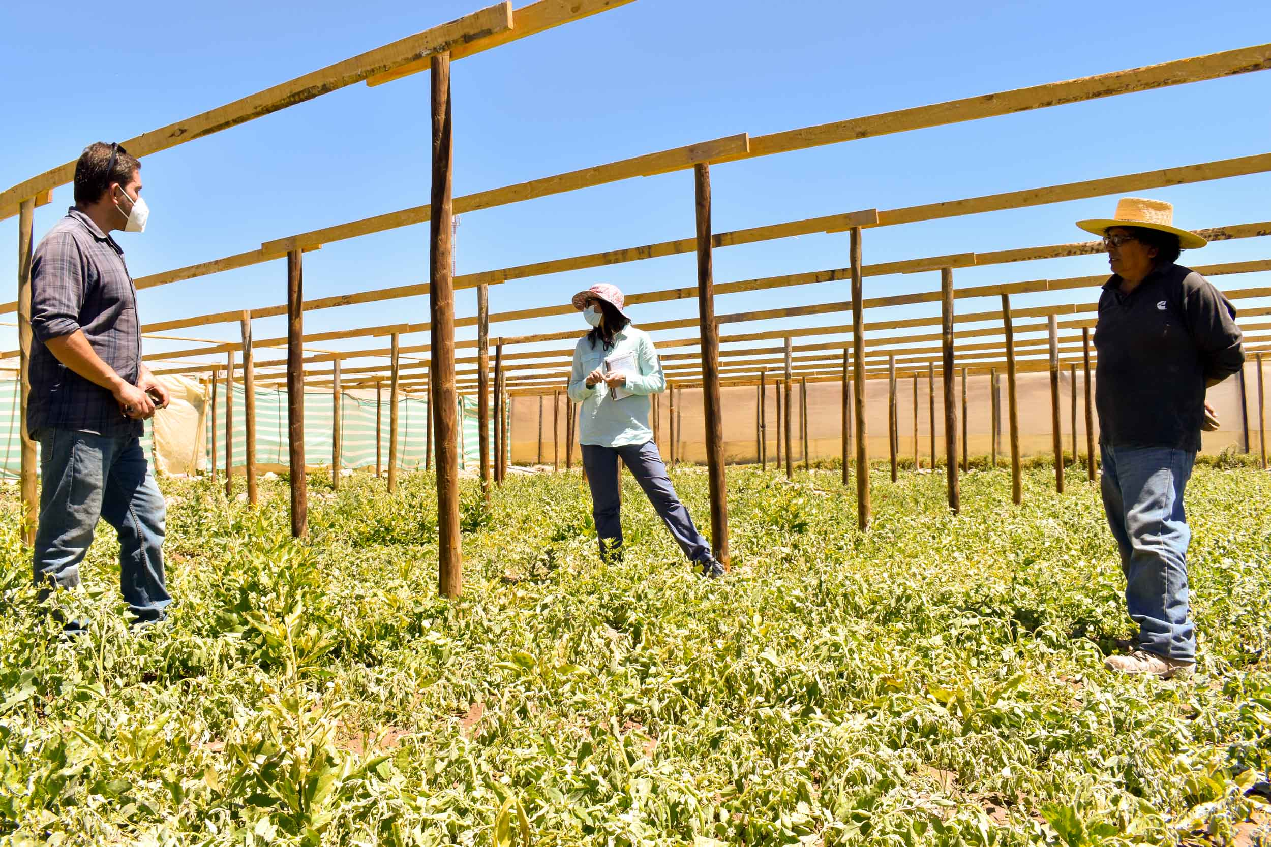 Agricultores se organizan por sectores para combatir la Mostaza Negra